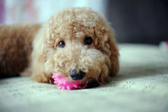 Puppy Bobi Royalty Free Stock Image
