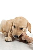 Puppy with bone Royalty Free Stock Photography