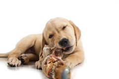 Puppy with bone Stock Image