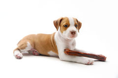 Puppy and bone Royalty Free Stock Image