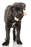 Puppy with bone Royalty Free Stock Image