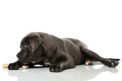 Puppy with bone Royalty Free Stock Images