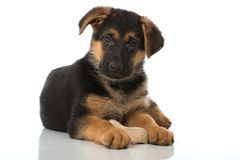 Puppy with bone Royalty Free Stock Photos