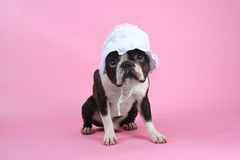Puppy bonnet. A boston terrier in a baby bonnet Royalty Free Stock Images