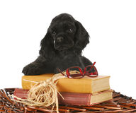 Puppy with books Stock Photography