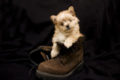 Puppy in Boot stock images