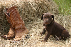 Puppy & Boots. Brown Labrador Retreiver sitting ontop of hay next to a pair of leather booat stock photos