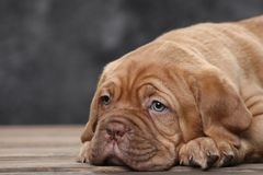 Puppy of a bordeaux dog on the background of wooden boards. Close-up Stock Images