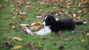 Puppy border collie stock video
