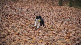 Puppy border collie stock videobeelden