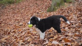 Puppy border collie stock footage