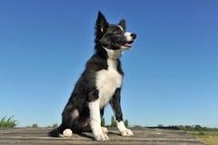 Puppy border collie Royalty Free Stock Photos
