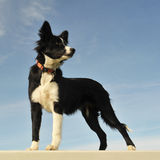 Puppy border collie Stock Photo