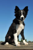 Puppy border collie Stock Photography