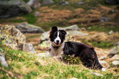Puppy border collie Royalty Free Stock Image
