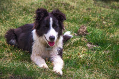 Puppy border collie Stock Image