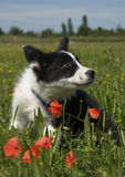 Puppy border collie Royalty Free Stock Photography