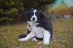 Border collie puppy. Puppy border collie in autumn sitting stock image