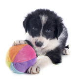 Puppy border collie and ball Stock Photos