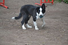 Puppy Border Collie with ball royalty free stock image