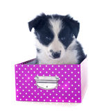 Puppy border collie in a box Royalty Free Stock Photos