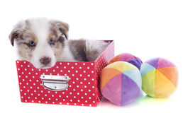 Puppy border collie in box Royalty Free Stock Photos
