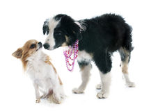 Puppy border collie and chihuahua Royalty Free Stock Image