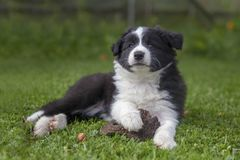 Puppy of border collie stock photo