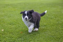 Puppy of border collie. Cute puppy of border collie running on green lawn stock photos