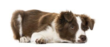 Puppy Border collie die, 15 weken oud liggen Royalty-vrije Stock Afbeelding