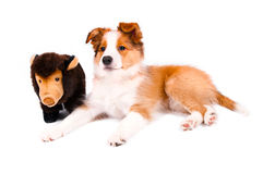 Puppy of the border collie dog. On the white Stock Photos