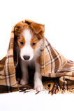 Puppy of the border collie dog. On the white Royalty Free Stock Photo