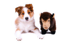 Puppy of the border collie dog. On the white Royalty Free Stock Image