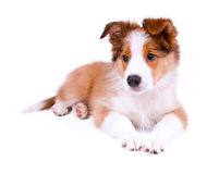 Puppy of the border collie dog. On the white Royalty Free Stock Photography