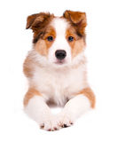 Puppy of the border collie dog. On the white Stock Photography