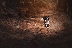 Puppy border collie door de herfstrood dat wordt omringd Stock Fotografie