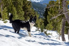 Puppy the Border Collie in a Incredible sunny day in winter in the Pyrenees in Andorra royalty free stock image