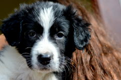 Puppy. Border Collie Puppy looking at camera Royalty Free Stock Photography