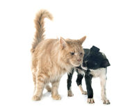 Puppy border collie and maine coon Stock Photo