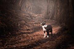 Puppy border collie, met inbegrip van rode bladeren en mist Royalty-vrije Stock Afbeelding