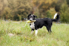 Puppy border collie playing with rope toy. In summer royalty free stock images