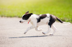 Puppy border collie running Royalty Free Stock Image