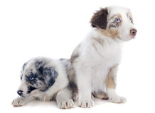 Puppy border collies Stock Photos