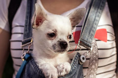 Puppy in the bosom of a girl Royalty Free Stock Photography