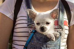 Puppy  in the bosom of the girl Stock Photo