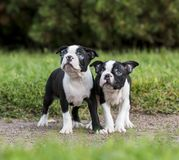 Puppy Boston Terrier. In the Park Royalty Free Stock Photos