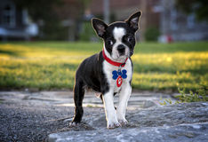 Puppy Boston terrier Stock Image