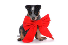 Puppy Bow Stock Photo