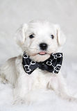 Puppy in bow tie Stock Photography