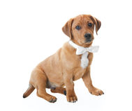 Puppy With Bowtie royalty free stock images